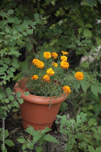 Dekoracje Ogrodowe Kwiaty Byczki W Donicy W Ogrodzie Zdjęć