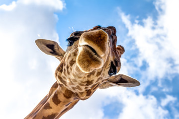 Foto auf Gartenposter Giraffe Close-up of a giraffe head during a safari trip South Africa