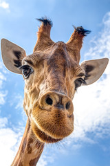 Foto auf Gartenposter Giraffe Close-up of a giraffe head