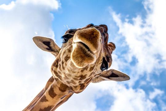 Close-up of a giraffe head during a safari trip South Africa