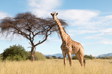 Printed kitchen splashbacks Giraffe A large giraffe in a Ruaha National Park