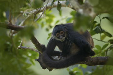 Geoffroy's Spider Monkey (Ateles geoffroyi) also known as Black-handed Spider Monkey, Belize, Central America <captive>