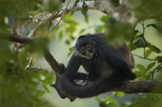 Geoffroy's Spider Monkey (Ateles geoffroyi) also known as Black-handed Spider Monkey, Belize, Central America <captive>