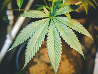 Close Up Marijuana Leaf Growing on Indoor Cannabis Plant