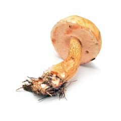 tylopilus felleus mushroom
