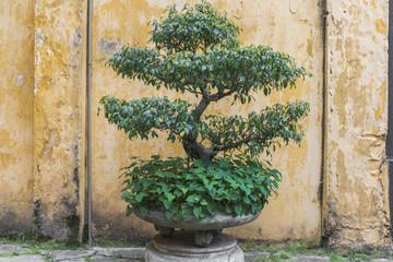 Bonsai Baum in Traditionellem  Topf vor gelber Wand in Hanoi Vietnam