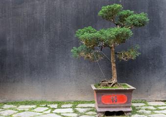 Bonsai Baum mit rot verziertem Topf vor schwarzer Wand in Hanoi Vietnam