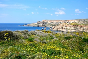 Pretty Spring wildflowers with views towards the cliffs and Mediterranean sea, Golden Bay, Malta.
