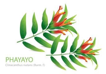 PHAYAYO