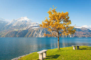 Autumn landscape. Tree with yellow leaves. Lake Shore. Mountain peaks in the snow.