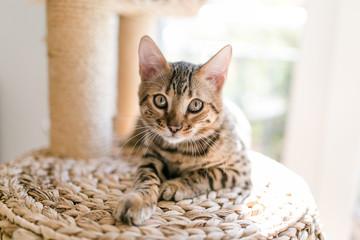 Bengalkatze Katze im Kratzbaum in der Sonne Fototapete