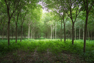 Rubber plantations are organized with spacing.