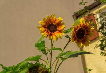 Zwei Sonnenblumen im Sommer