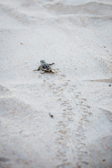 Fotorolgordijn Schildpad Baby Sea Turtle