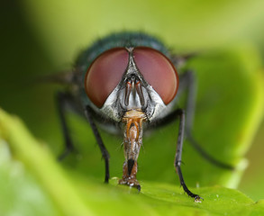 Fly frontal close-up