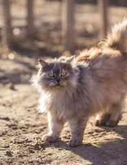 Fluffy persian cat.