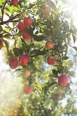 Branches of an apple tree with bright sunlight beaming through the leaves.