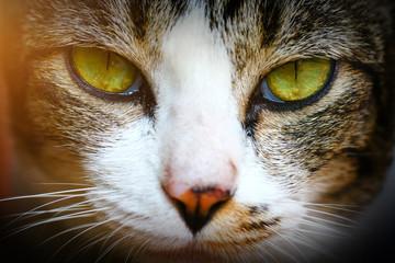 Close-up of Shorthair thai cat face