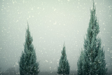 Landscape of Christmas tree pine or fir with snowfall on sky background in winter. vintage color tone and rustic style.