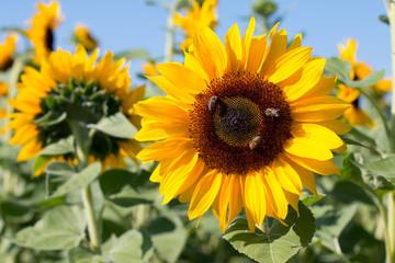 Sonnenblumen, Bienen, blauer Himmel