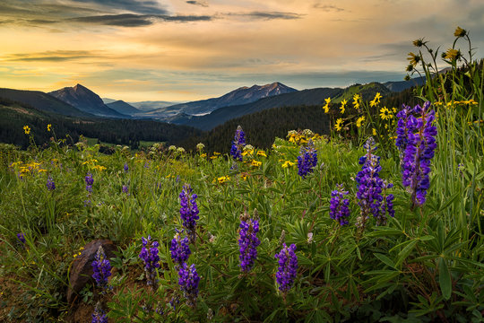 Early morning wildflower field above Crested Butte
