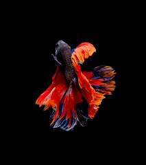 Betta fish siamese fighting fish betta splendens isolated on black background