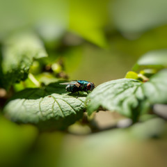 fly sits on green foliage
