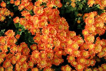 Orange with yellow pollen chrysanthemum flowers.