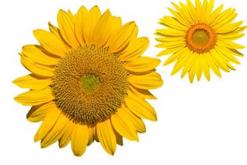 Isolierte Sonnenblumen auf weissem hintergri