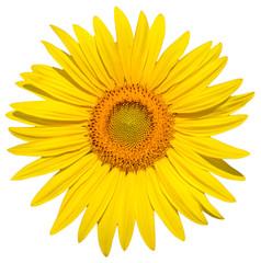 Sonnenblume isoliert auf weissem Hintergrund