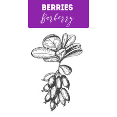 Barberry hand drawn vector illustration set. Engraved food image.