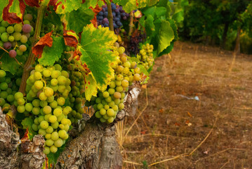 Tuscan grapes ready to become wine
