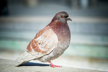 Grey city pigeon. Closeup.