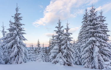 Spruce Tree Forest Covered by Snow in Winter