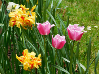 Pink and yellow tulips on flowerbed