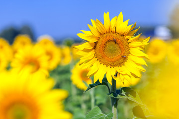 Bright young sunflower yellow without seeds on a background of a blurry sunflower field and a blue sky on a bright sunny summer day
