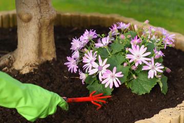 Gardeners hand planting marguerite flowers in garden