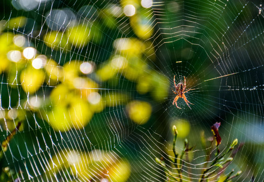 red spider in the web on beautiful forest bokeh