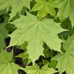 Norway Maple leaf, (Acer platanoides), Eifel, Germany.