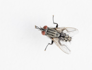 Detail of a fly isolated on white background. Top view.
