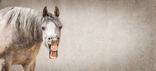 Funny horse face with Open mouthed looking in camera at gray background, place for text, banner