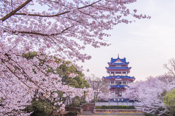 Wall Murals Lavender cherry blossom in Chinese traditional garden