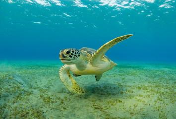 Fotorolgordijn Schildpad Hawksbill turtle eating sea grass from sandy bottom
