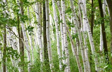 maynard birch