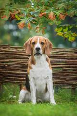 Beagle dog sitting near the fence
