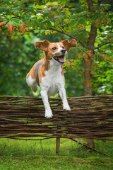 Funny beagle dog jumping over the fence