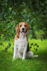 Beagle dog sitting under a tree