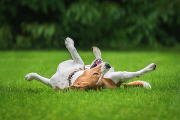 Beagle dog having fun on the lawn in summer