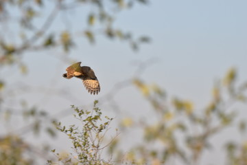 Verregeaux Eagle Owl