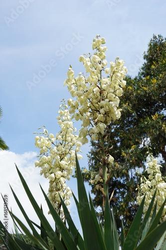 Im Kakteengarten - weiße Blüten / Aloe\